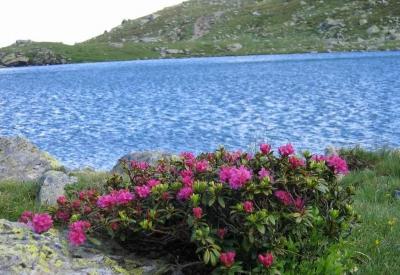 Radlsee mit Alpenrosen